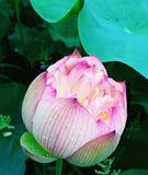 Demi fleur de lotus de floraison image libre de droits