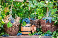 Demijohn in a wicker basket and dark grapes Stock Photos