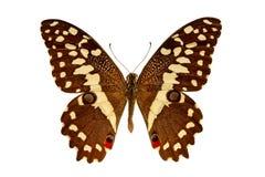 Demodocus de Papilio em um fundo branco imagem de stock
