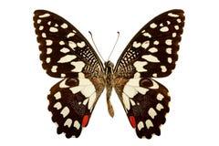 Demodocus de Papilio em um fundo branco fotos de stock