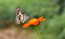 Demodocus de Papilio (guindineau de citron) Photo libre de droits