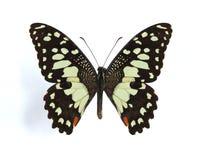 Demodocus de Papilio (mariposa de la fruta cítrica) Imagen de archivo libre de regalías