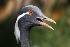 demoiselle крана птицы Стоковое Изображение RF