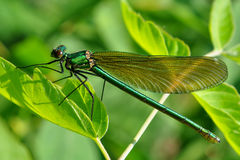 Demoiselle Stock Images