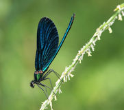Demoiselle bonito (virgo de Calopteryx) Fotografia de Stock Royalty Free