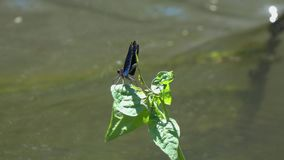 Demoiselle/Calopteryx för slända som härlig virgo/sitter på ett grönt blad lager videofilmer