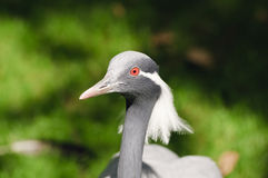 Demoiselle Crane Royalty Free Stock Photo