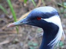 Demoiselle crane Stock Photos