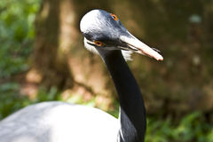 Demoiselle Crane. Close-up of beautiful bird Demoiselle Crane, looking at camera stock photography