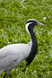 Demoiselle Crane Stock Photos