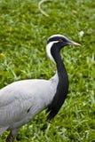 Demoiselle Crane. Close-up of beautiful bird Demoiselle Crane stock photos