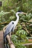 Demoiselle Crane. Beautiful bird Demoiselle Crane in a park royalty free stock image