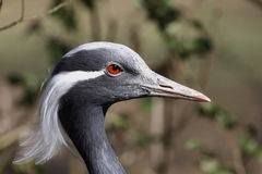 Demoiselle Crane,Anthropoides virgo Royalty Free Stock Photography