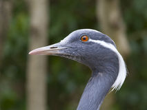 Demoiselle crane - Anthropoides virgo Royalty Free Stock Photography