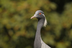 Demoiselle Crane, Anthropoides virgo Royalty Free Stock Photos