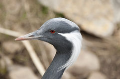 Demoiselle crane - Anthropoides virgo Royalty Free Stock Images