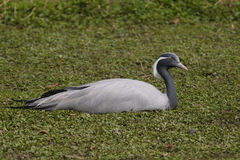 Demoiselle Crane, Anthropoides virgo Stock Photography