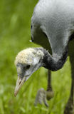 Demoiselle crane (anthropoides virgo) Royalty Free Stock Image