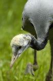 Demoiselle crane (anthropoides virgo) Royalty Free Stock Image