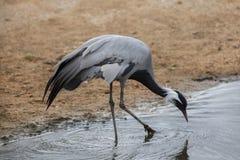 Demoiselle crane (Anthropoides virgo). Royalty Free Stock Photo