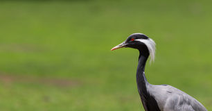 Demoiselle Crane (Anthropoides virgo) Stock Images