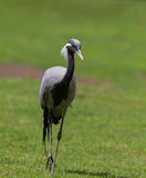 Demoiselle Crane (Anthropoides virgo) Royalty Free Stock Photo