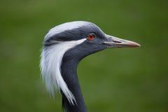 Demoiselle crane Anthropoides virgo. Royalty Free Stock Images