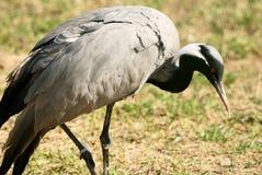 Demoiselle Crane bird Stock Photography