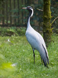 Demoiselle Crane Bird Royalty Free Stock Photography
