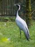 Demoiselle Crane Bird Royalty Free Stock Photography