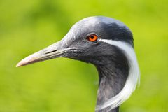 Demoiselle Crane Royalty Free Stock Images