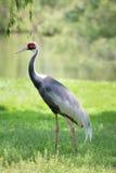 Demoiselle Crane Bird Stock Photos
