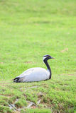 Demoiselle Crane Bird sitting Stock Photos