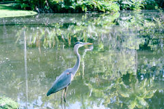 Demoiselle Crane Bird sur le lac Photos stock