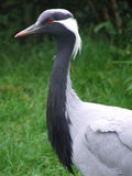 Demoiselle Crane close up Royalty Free Stock Images