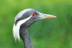 Demoiselle crane Royalty Free Stock Photography