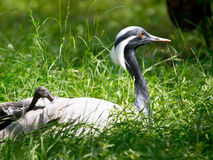 Demoiselle crane grass Stock Photo