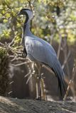 A beautiful Demoiselle Crane on a summer day stock image