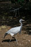 Demoiselle crane Grus virgo stock photography