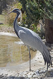 Demoiselle crane 1 Stock Images