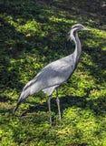 Demoiselle crane Royalty Free Stock Image