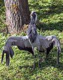 Demoiselle crane 3 Royalty Free Stock Photo