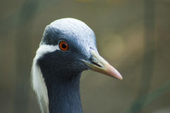 Demoiselle crane. The portrait of a Demoiselle crane Royalty Free Stock Image