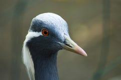 Demoiselle crane. The portrait of a Demoiselle crane royalty free stock image
