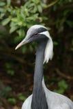 Demoiselle crane portrait royalty free stock photos