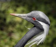 Demoiselle crane`s head 1 Stock Photography
