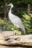 Demoiselle Crane Stock Photo