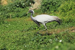 Demoiselle crane Stock Images