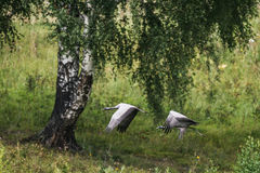 Demoiselle Crane Royalty Free Stock Image