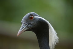 Demoiselle crane (Anthropoides virgo). Royalty Free Stock Image